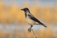 Nebelkrähe Corvus cornix