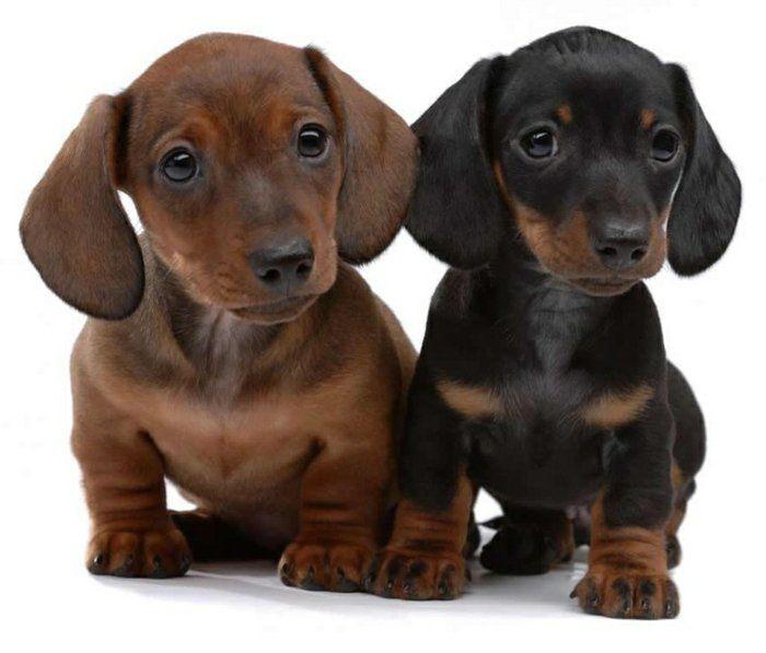 race de chien taille moyen marron foncé et noir