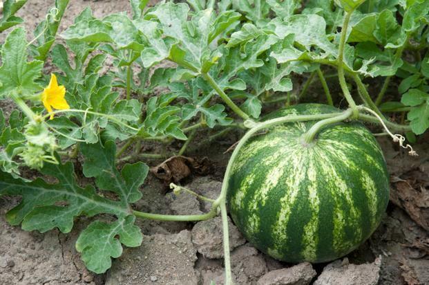 Uprawa arbuzów w ogrodzie. ARBUZ w przydomowym ogrodzie warzywnym - - wymarzonyogrod.pl