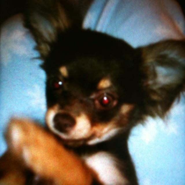 My minature Chihuahua, Minka.