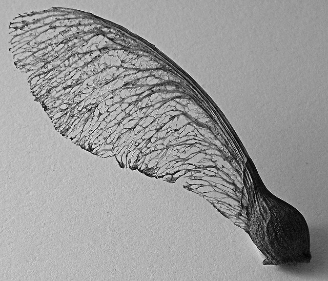 Sycamore Seed 2 by gothick_matt, via Flickr