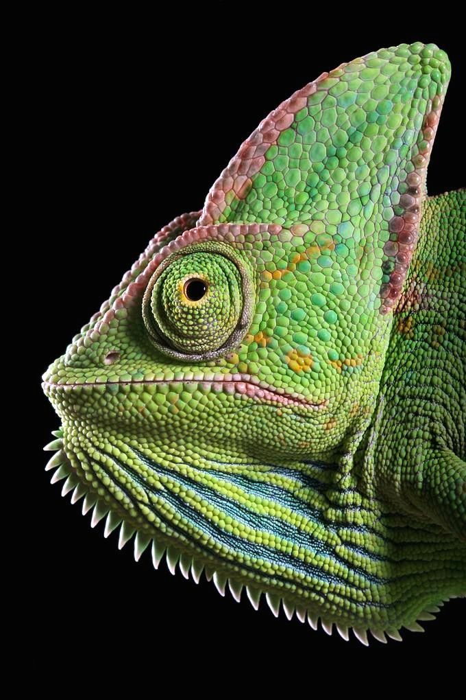 "This is what my grandma meant by ""So ugly, it's cute!"" - awesome shot of a chameleon"