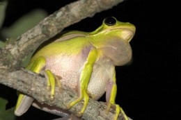American Green Tree Frog Making Vocal Sounds In Tree To Attract Female Tree Frogs