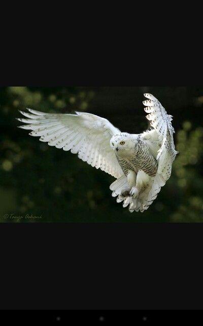 Snowy owl flying   love   Pinterest   D, Snowy owl and Owl