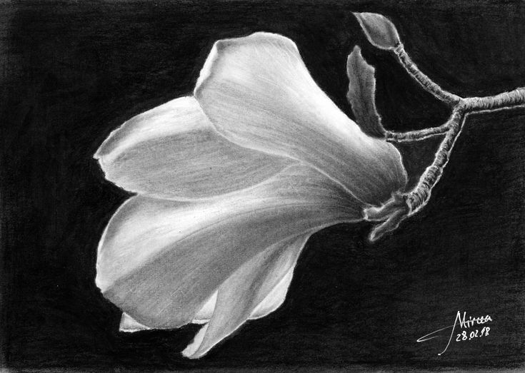 A new beauty Magnolia that has been drawn in charcoal 30x20, by Mircea Craciunel.