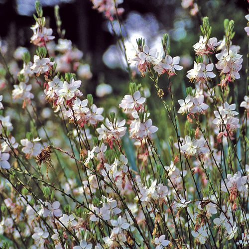 Les 27 meilleures images propos de fleurs sur pinterest mauve cieux et belle - Fleurs vivaces longue floraison ...