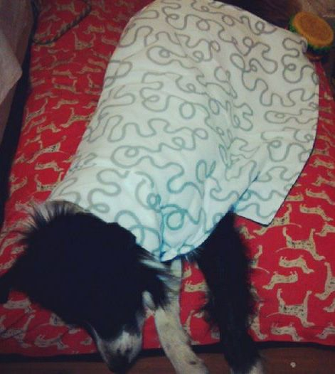 Blanket coat in action.  Fitted neck but long sides so the coat acts like a blanket while dog is sleeping