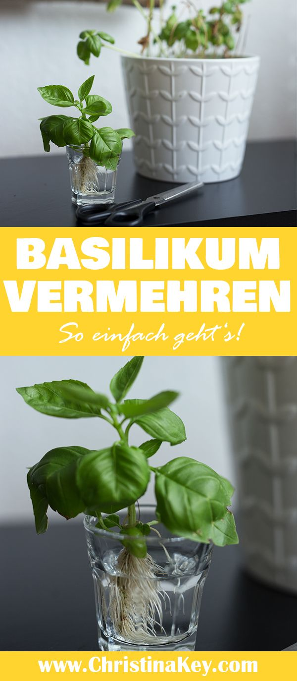 Basilikum vermehren Tipps – CHRISTINA KEY – Fotografie Tipps & kreative Foto Hacks