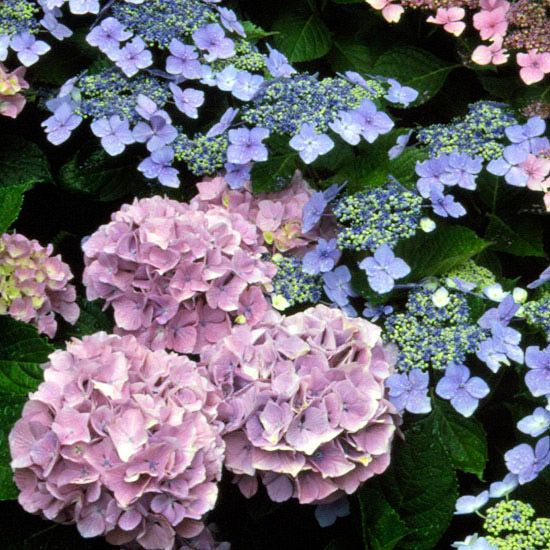 A Gardener's Guide to Hydrangeas -  Hydrangeas come in a staggering array of shapes, sizes, and varieties. Knowing which of these flowering shrubs will do best in your backyard is the first step to success with this beautiful bloomer. Plus get tips for hydrangea care!