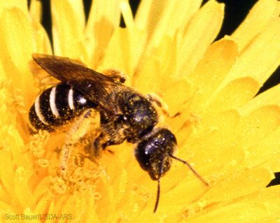 Sweat bees can range from 1/4 to 1/2 inch in length and are highly abundant in temperate regions. Sweat bees visit a large number of crops, and some have very drab coloration while others are brilliant and metallic.