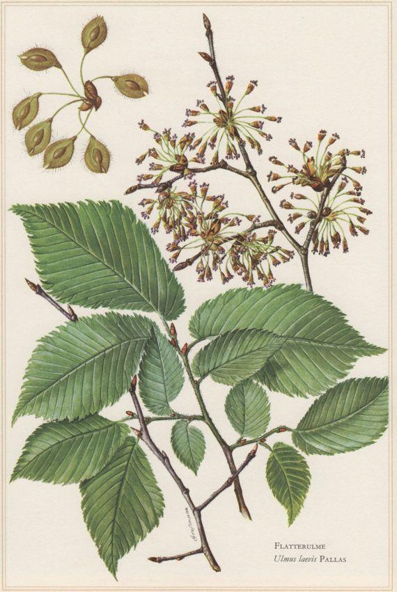 1960 Vintage Botanical Print Ulmus laevis European by Craftissimo