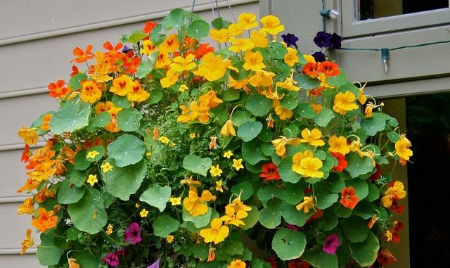 nasturium in hanging basket- poor soil, no problem-Good curb appeal plant for containers &  hanging garden baskets.