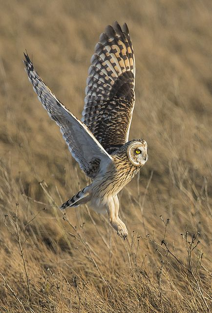☀Short Eared Owl-14 by Dan Newcomb Photography,