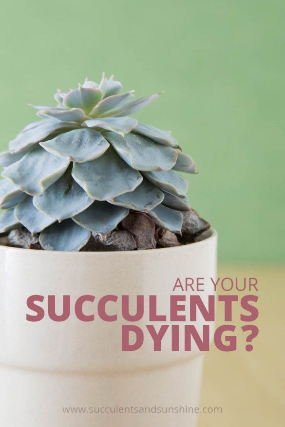 * Do you think your succulent is dying? Find out how to tell what might be killing it!