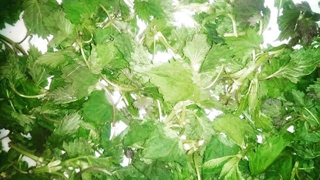 N E T T L E  Drying freshly picked nettle. Find in our Botanical Facial Steam & Hair Oil . . . . . #nettle #wildcrafting #foraging #pnw #britishcolumbia #nature #haircare #facialcare #greenbeauty #plantbased #allnatural #beautyfinds #greenbeautyblogger #naturalhair #madeinvancouver #localingredients #forestfinds #fresh #herbalskincare #botanicals #botanicalbeauty #hairoil #facialsteam #beautysteam #beautyoil #sustainable #ecofriendly #greenliving #wildjasmine