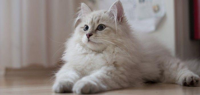 Co vyžaduje kočka domácí