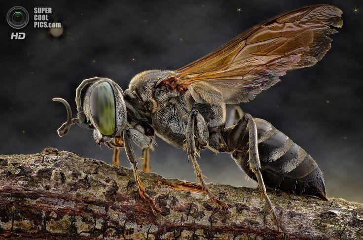 Пчела. (Yudy Sauw/Barcroft Media)