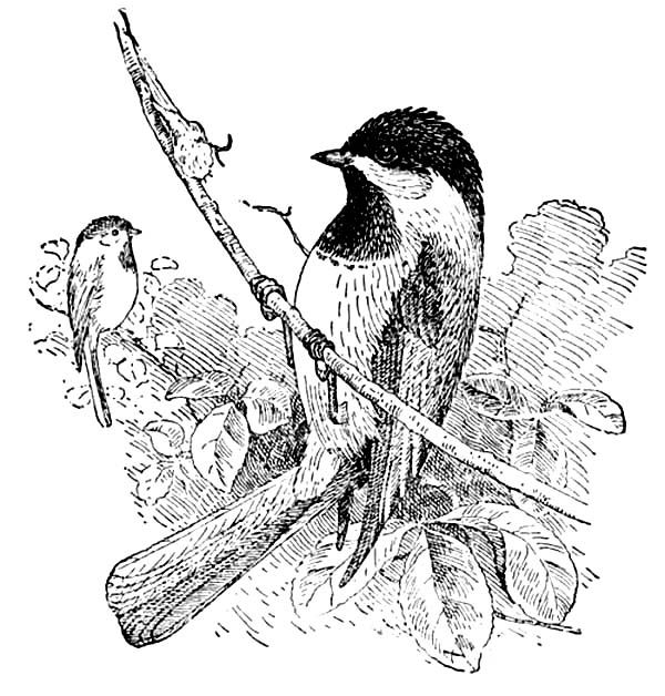 Chickadee Awesome Drawing Of A Chickadee Coloring Page Cool