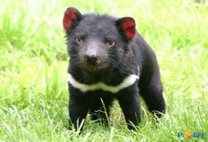 """Tasmaanse Duivel is nu het eiland Tasmanië. Het kreeg de naam """"duivel"""" als gevolg van slecht temeperamentului"""
