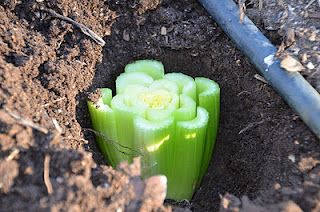 grow celery from the root end Dig a hole in the vegetable garden deep enough to completely cover the celery, and plant the celery in the hole with the freshly cut side up.