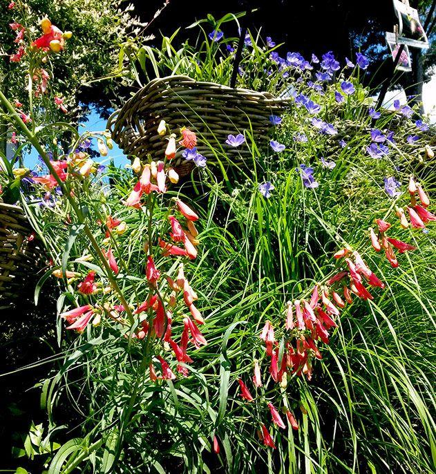 """plantes vivaces auvergne """"Les Jardins des Hurlevents """" http://www.plantes-vivaces-hurlevents.com/"""