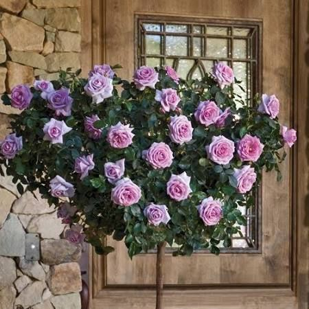 purple roses bushes for sale - Google Search