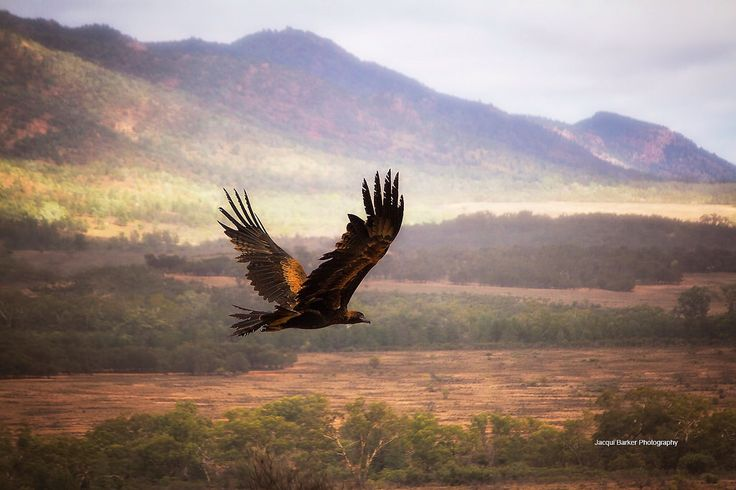 Wedge Tail Eagle soaring above the Flinders Ranges South Australia