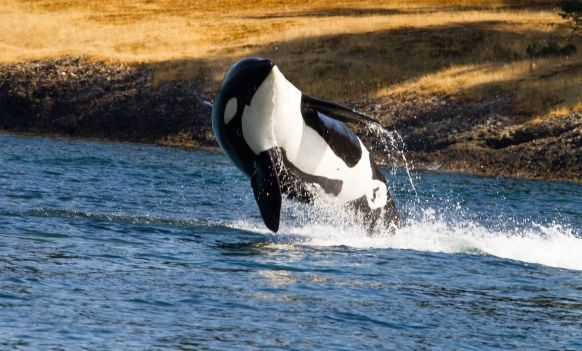 Watch Whales on the Isle of Mull, Scotland Featured Image