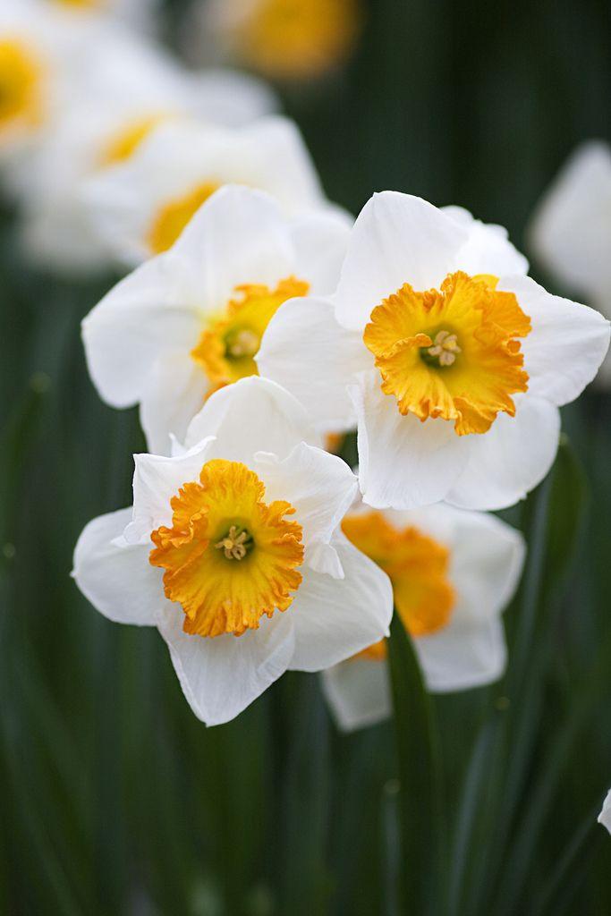 Daffodils, Royal Botanical Gardens, Canada