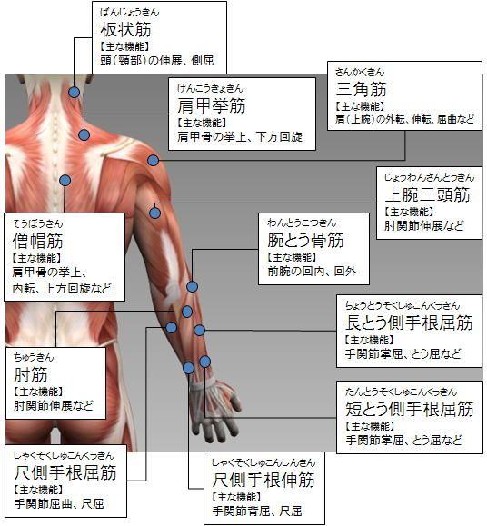 各部筋肉の名称(上半身):後側