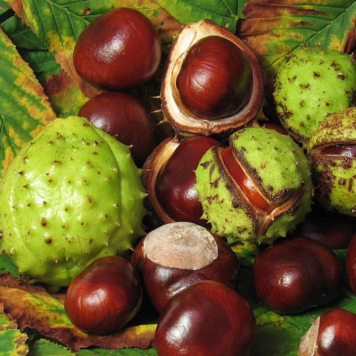 Horse Chestnuts, one of the abundant things available during the season of catarrh...