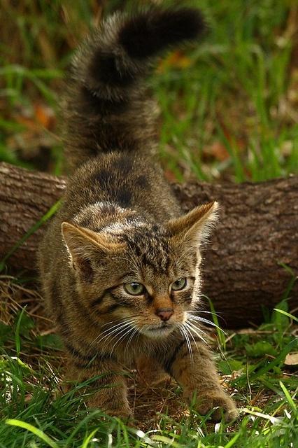 Scottish Wildcat, British Wildlife Centre by crowlem, via Flickr