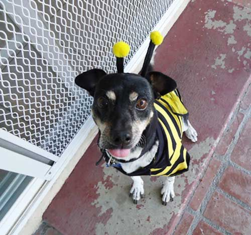 Laxie As A Bumble Bee• from APlaceToLoveDogs.com • costume dog dogs puppy puppies cute doggy doggies funny photography bee