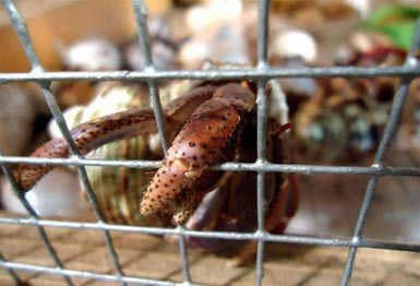 Care of Hermit Crabs - Tanks and Substrates