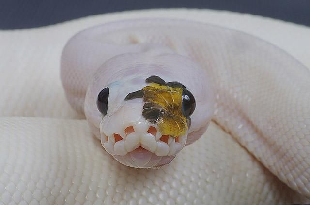 Phantom of the Opera spied spider/piebald ball python, female, 2010; photo by D. Barker.