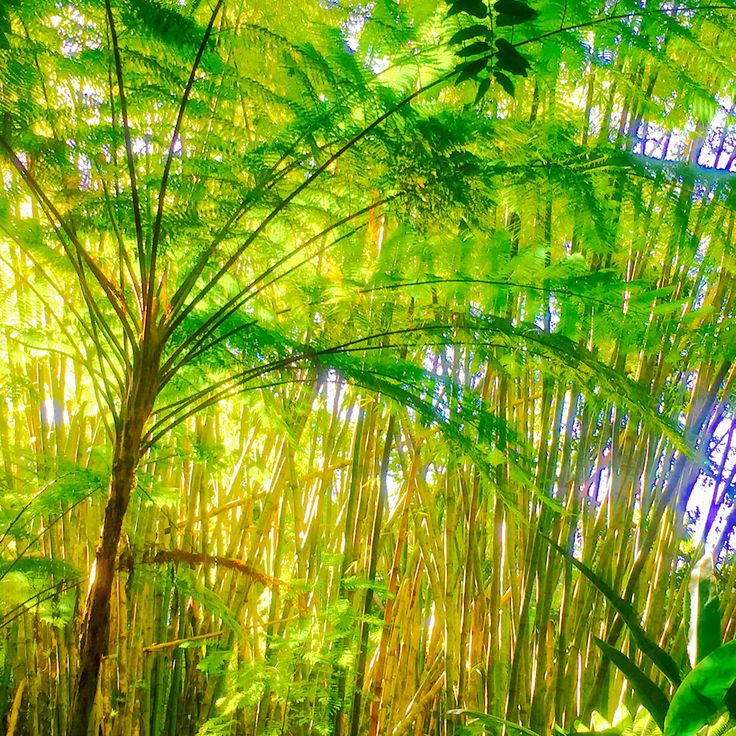 Bamboo juice ... the new health trend   #bamboo #health #cleanair #cleanwater
