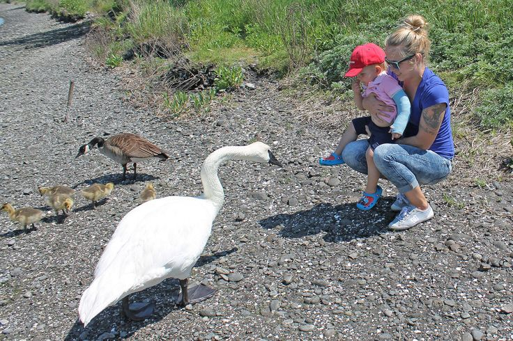 The swan is bigger than he is!   18 month old Wyatt comes fa…   Flickr - Photo Sharing!