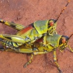 two grasshoppers loving each other- Let's do it like they do on the Discovery Channel