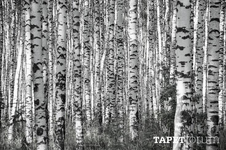 White birch forest wallpaper