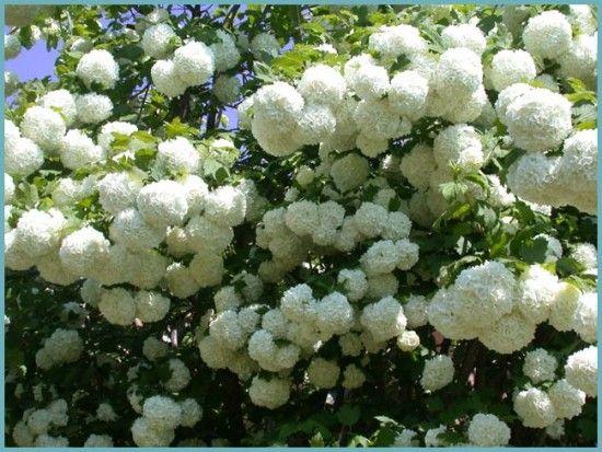 цветение калины бульденеж