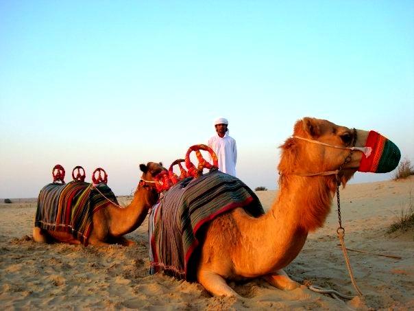 #camel #Dubai #UAE