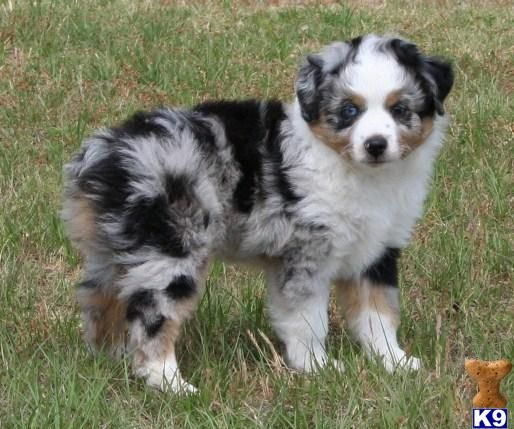 pictures of australian shepherds | Miniature Australian Shepherd Puppies in Texas