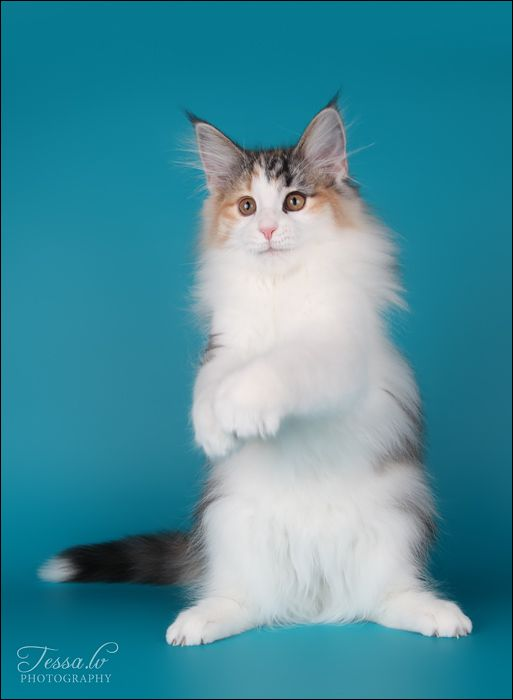 82 best ideas about Norwegian Forest Cats on Pinterest ...