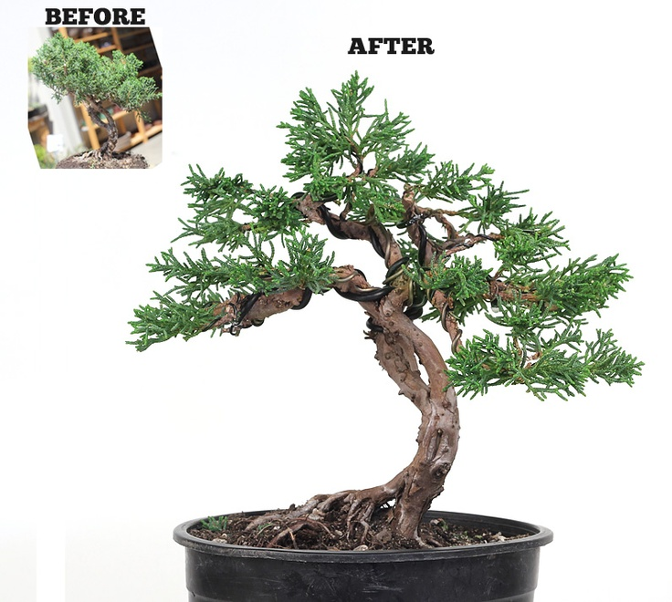 16 best bonsai projects for my own learning experience for Cool bonsai tree