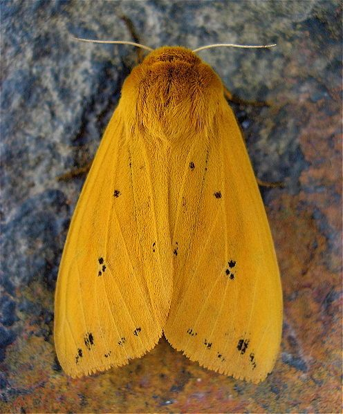 Isabella Tiger Moth (Pyrrharctia isabella) by Steve Juvetson, wikipedia: Adult form of the Wooly Bear Caterpillar #Isabella_Tiger_Moth