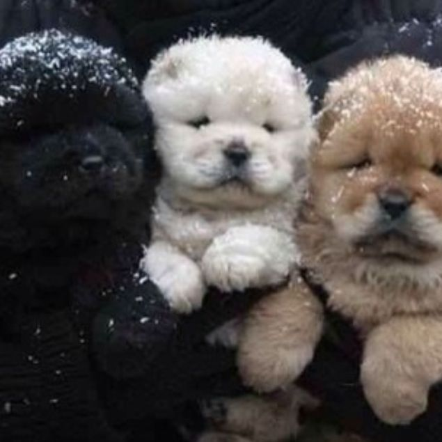 Best Spherical Chubby Adorable Dog - ff4c2911a9177c7cfbc7b8f7f91384a2--fluffy-puppies-cute-puppies  Image_415215  .jpg