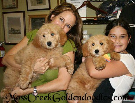 Goldendoodles English Goldendoodle Puppy - Goldendoodle Puppies For Sale Florida - Moss Creek Goldendoodles