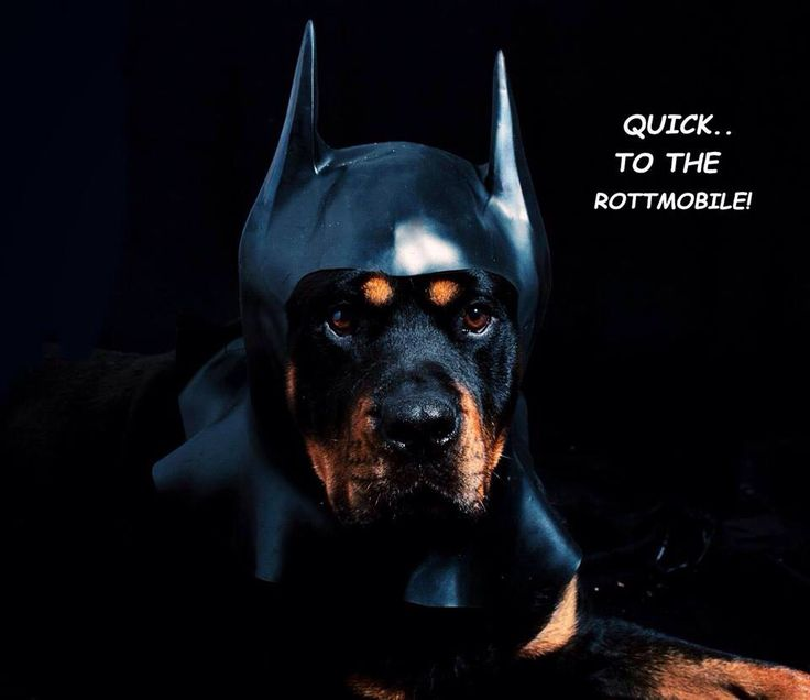 HA!! I have a black grand prix GTP and to my rottie that is what she knows it by...the ROTTIEMOBILE!!