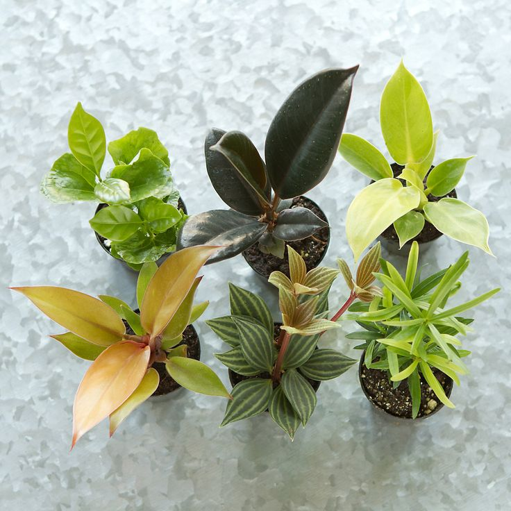 "Hand-selected especially for terrain, this set of upright plants makes it easy to fill a tall terrarium. Chosen for their beautifully varied colors and textures, these tropical plants will thrive in both open air and closed vessels.- A terrain exclusive- Set of 6 plants- Plant selection will vary based on seasonal availability; may include hybrid philodendron, pepperomia, podocarpus, coffee plant, and rubber plant- Best growth in indirect light and moist soil- USA2""HOnline Exclusive"