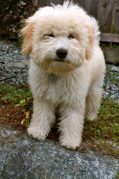 Whoodle (Wheaten Terrier-Poodle Mix) Info, Temperament, Puppies ...